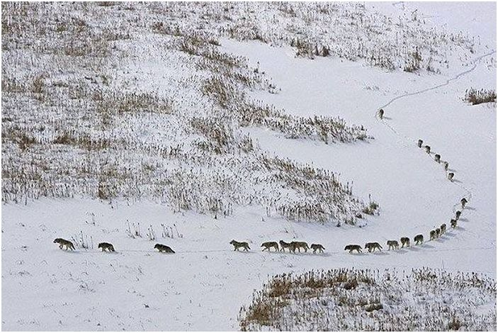 The wolf pack on the move